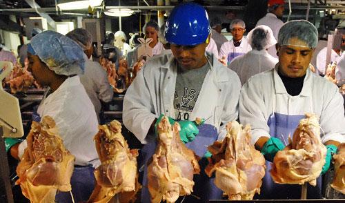 Mujeres y hombres migrantes trabajan en una procesadora y empacadora de pollos.